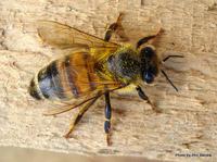 Bee stings treatment