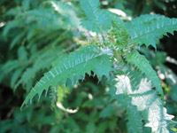 Photo of an ongaonga or giant tree nettle. It has serrated green leaves with sharp white hairs sticking out from the middle of the leaf, and from the tip of each serration.