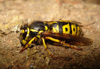 Photo of a wasp.
