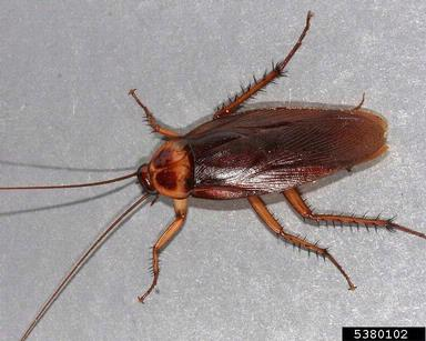 Photo of a reddy brown-coloured cockroach.