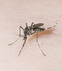 Photo of a black-and-white asian tiger mosquito.