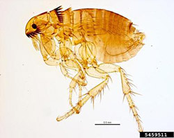 Photo of a cat flea.