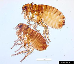 Photo of two dog fleas.