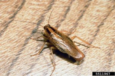 information-about-cock-roaches-girls-ass-pain