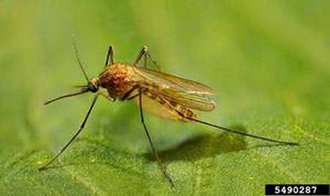 Photo of a yellow-and-brown northern house mosquito.