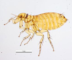 Photo of a northern rat flea.