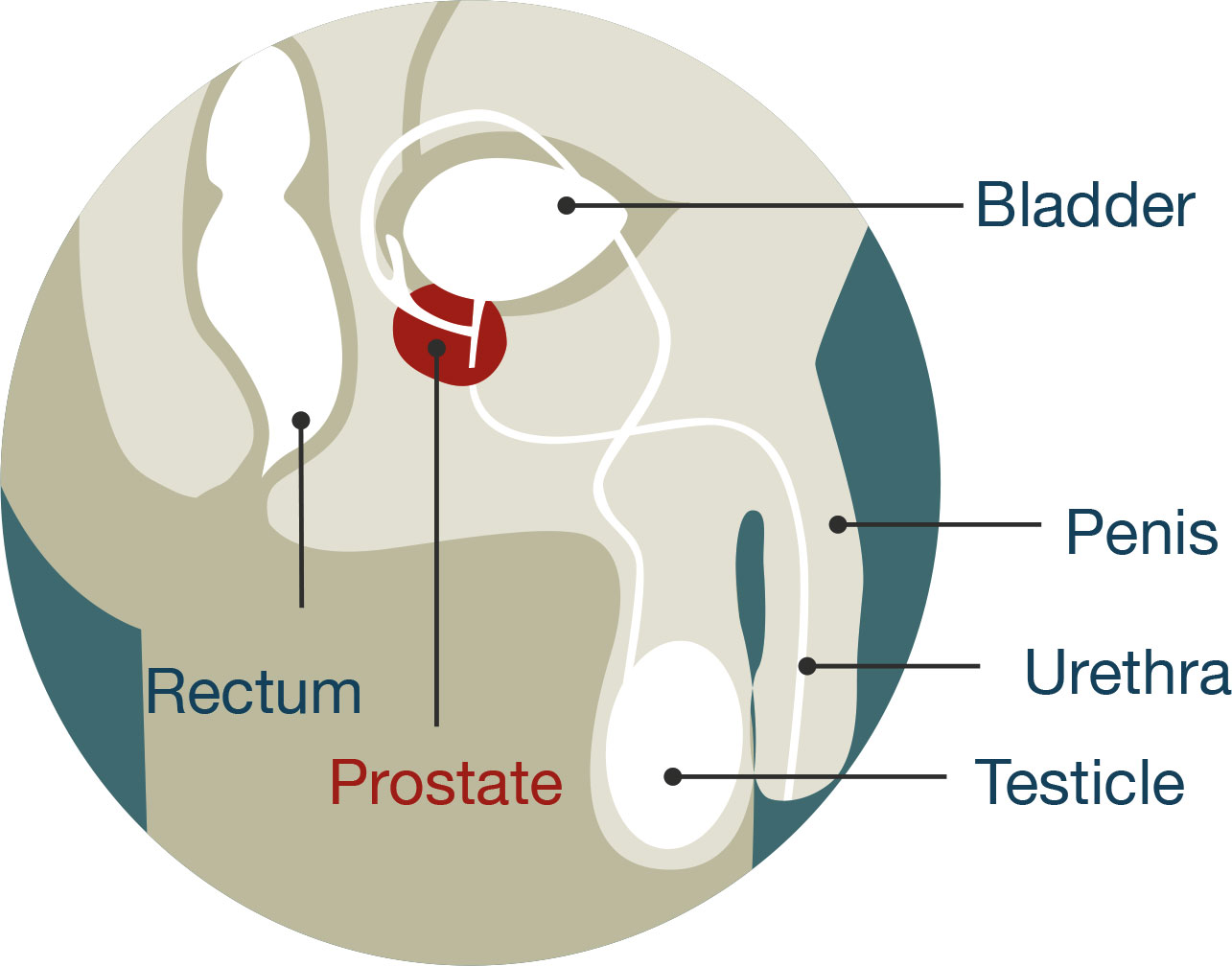 Prostate cancer ministry of health nz diagram of male anatomy the prostate is located just below the bladder ccuart Image collections