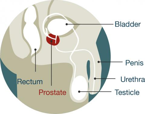 Diagram of male anatomy. The prostate is located just below the bladder.